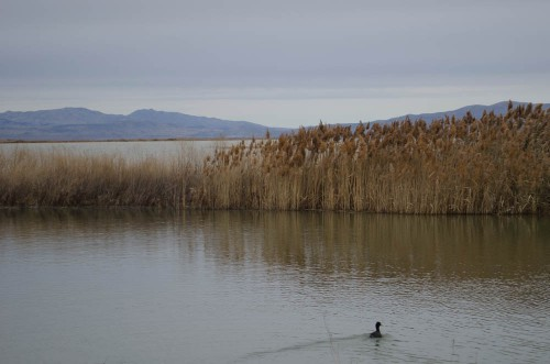 Duck at Bear River Migratory Bird Refuge in Brigham City