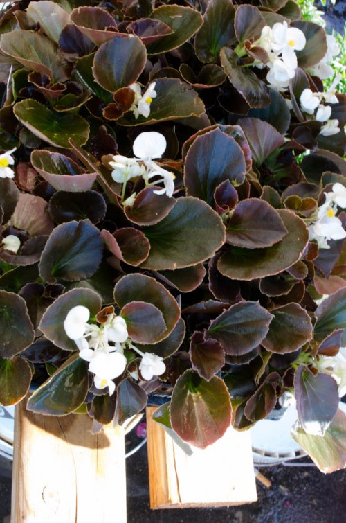 Bronze Leaf White Wax Begonias