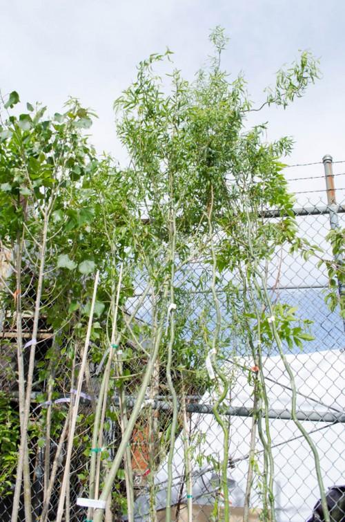 Corkscrew Willow trees