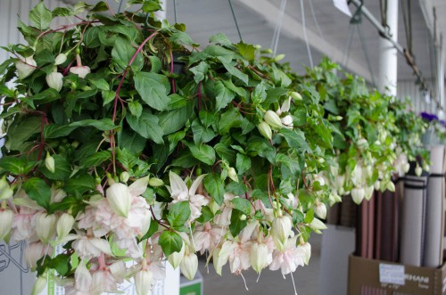 White Fuchsias in hanging baskets
