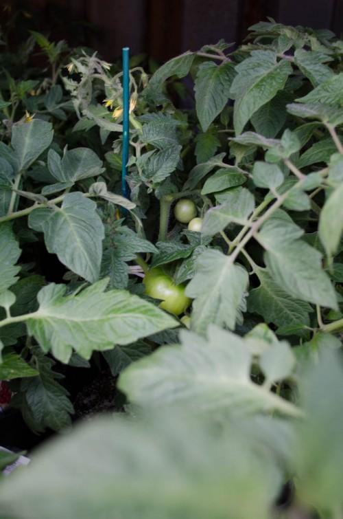 Smith & Edwards tomatoes