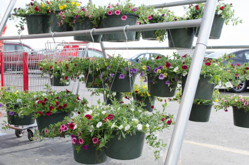 Colorful Calibrachoa in hanging baskets