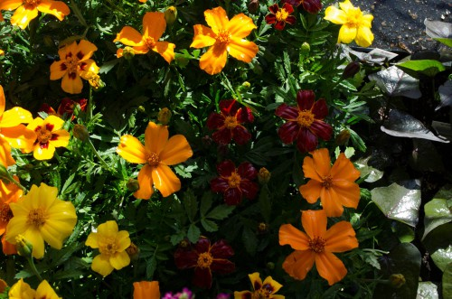 Flowering marigolds