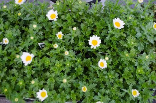 Cute white Dahlberg Daisies
