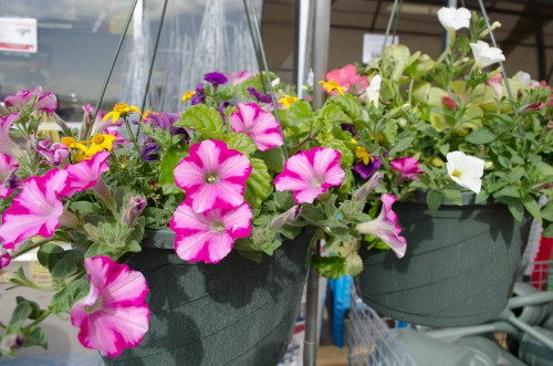 Pink flowers in hanging baskets