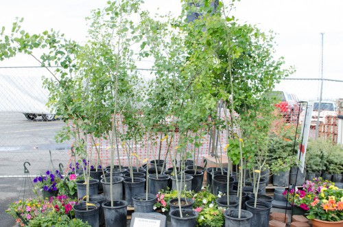 Quaking Aspen trees and hanging baskets