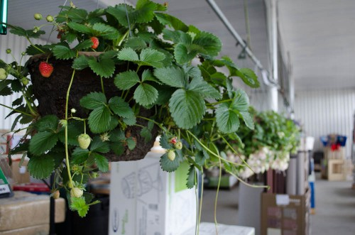 Strawberries growing in Hanging Baskets