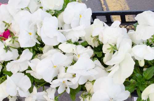 White pansies