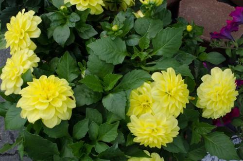 Yellow Potted Dahlinova Hypnotica flowers