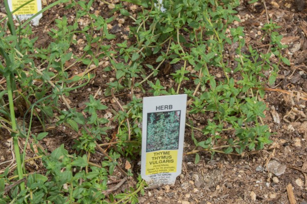 Thyme growing