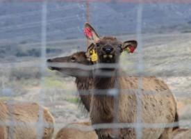 Elk herd on Highway 89 - photo by Rose Marion