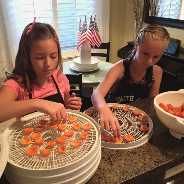 Dehydrating apricots: placing the halves on the dehydrator screen